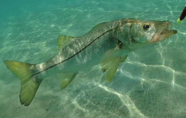 Fort myers fishing report november 2016 coastal angler for Franks great outdoors fishing report