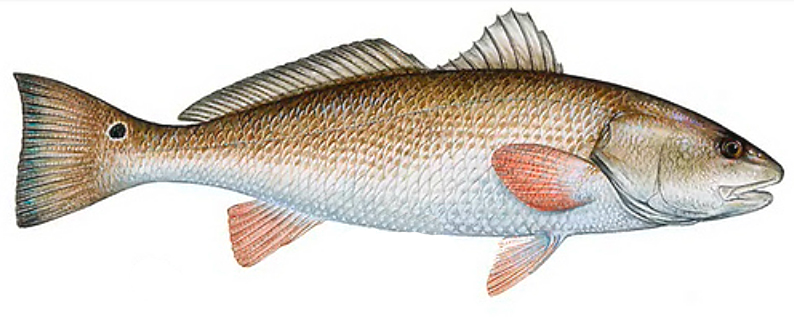 Big bend fishing reports news outdoors and more for Long island surf fishing report