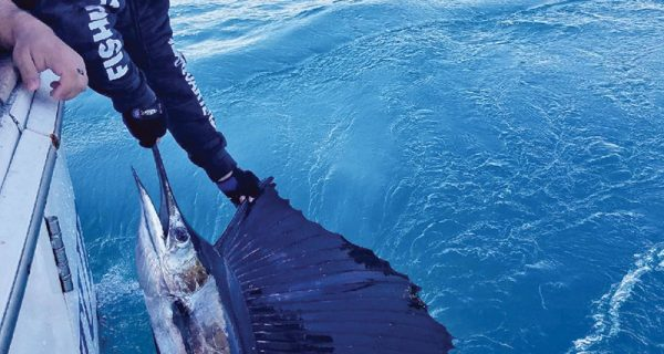 Sailfish catch and release aboard the New Lattitude.