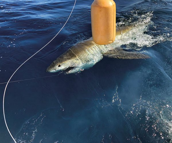Great white shark caught and released with Fishing Headquarters.