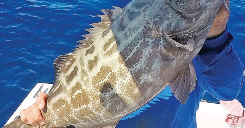 Capt. Eddy Medero caught this big black grouper on a live pinfish in 140 feet.