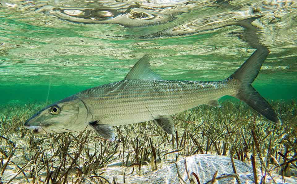 Abaco fly fishing guides association blasts new bahamas for Nc saltwater fishing regulations 2017