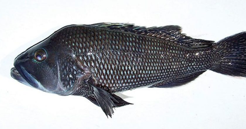 A black sea bass taken with Natural World Charters.