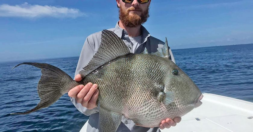 Capt Scott Fitzgerald of Madfish Charters putting his clients on the groceries with this giant triggerfish.