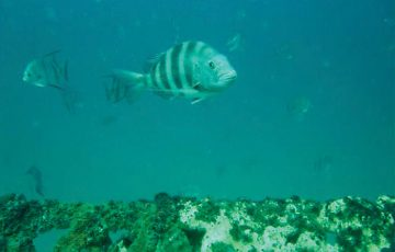 Sheepshead photo by Bob Stapelton.