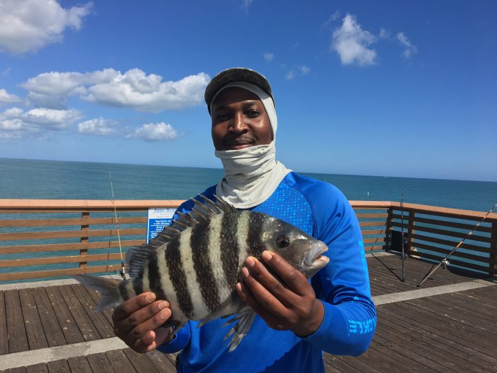 Sheepshead Caught At The Pier Photo Courtesy Of Lmc
