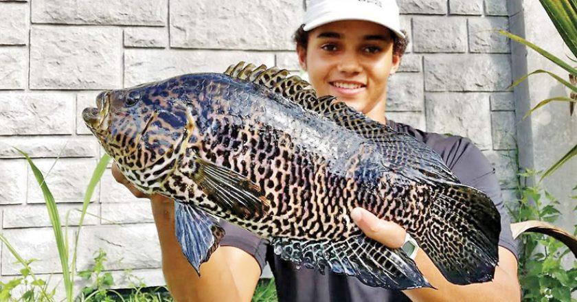 Jaguar Guapote caught by Justin.