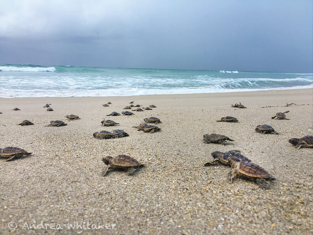 Sea Turtle Nesting West Palm Beach