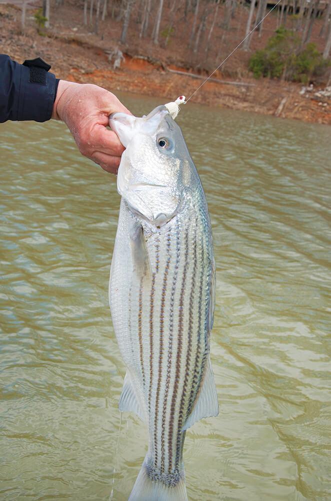 Striped bass stocking hatchery california