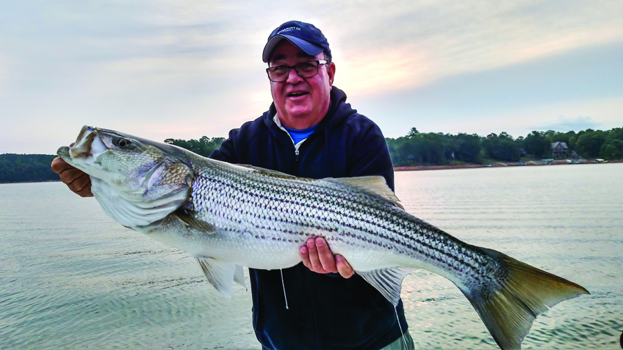 dennis payne caught this huge striper on lake nottely