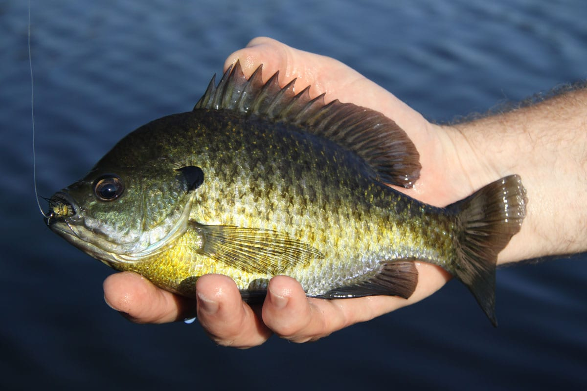 crappie and other freshwater species Mini Tails--a great bait for bluegill
