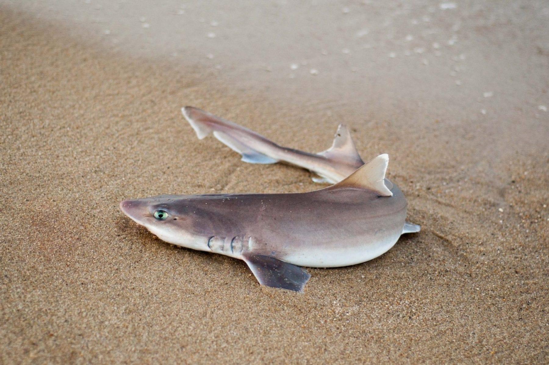 Shark fishing in the lowcountry coastal angler the for Shark fishing nc