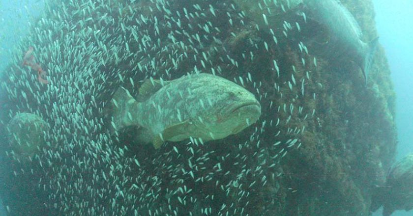 Treasure Coast scuba goliath grouper