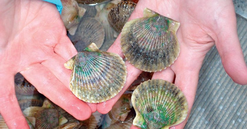 Gulf County Scallop Season Open Until Sept. 30