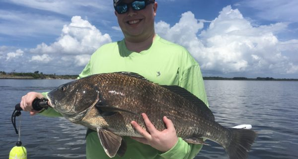 Black drum are feeding on cut crab or live or cut shrimp near area bridges