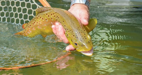 Big Trout And The October Caddis