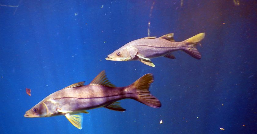 West Coast Snook Florida Red Tide Recovery Program Planned