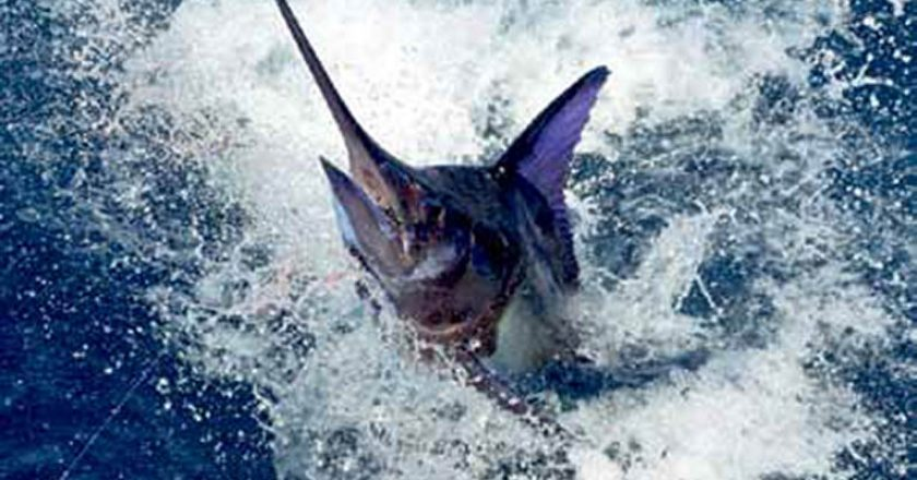 Stuart FL Sailfish Season