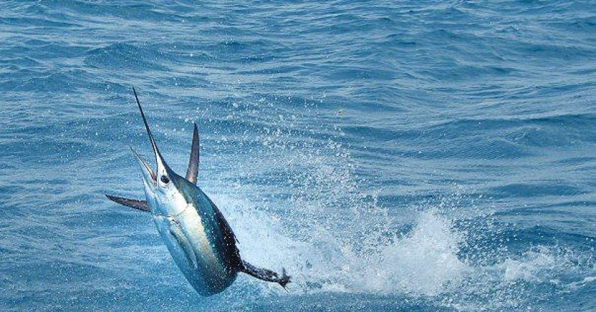 Islamorada Sailfish Tournament Launches Gold Cup Championship