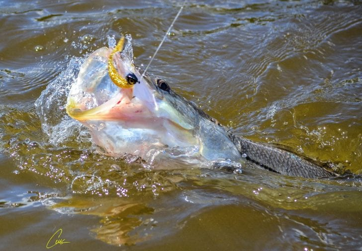 """Snook caught on DOA C.A.L. 3"""" shad tail."""