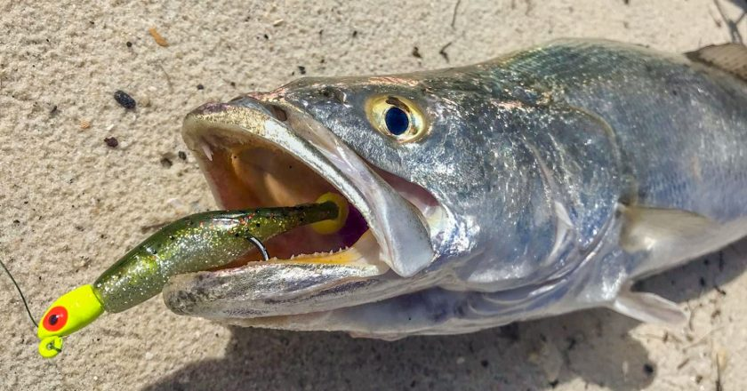 Seatrout In The Surf