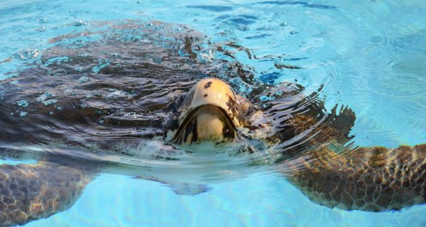 Loggerhead Marine Life Center to Release Gavin, a loggerhead sea turtle