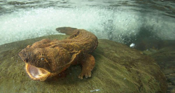 Have You Seen a Hellbender?