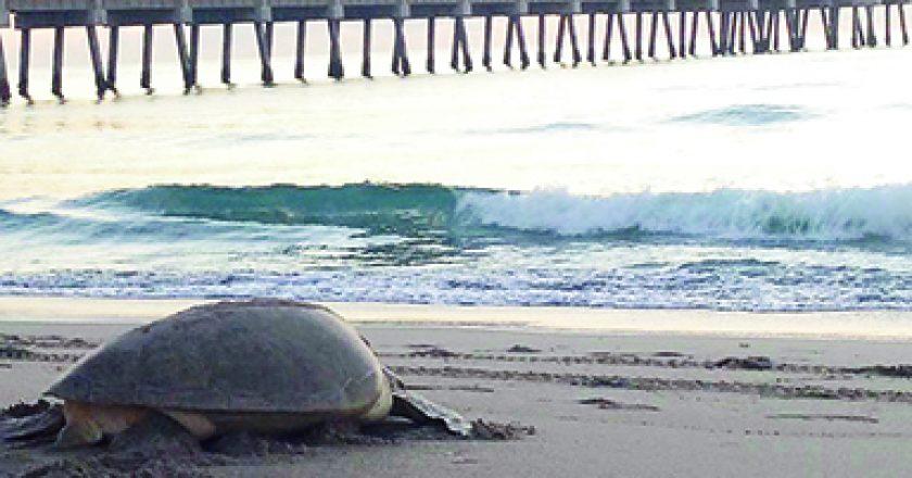 sea turtle on beach at Juno Pier