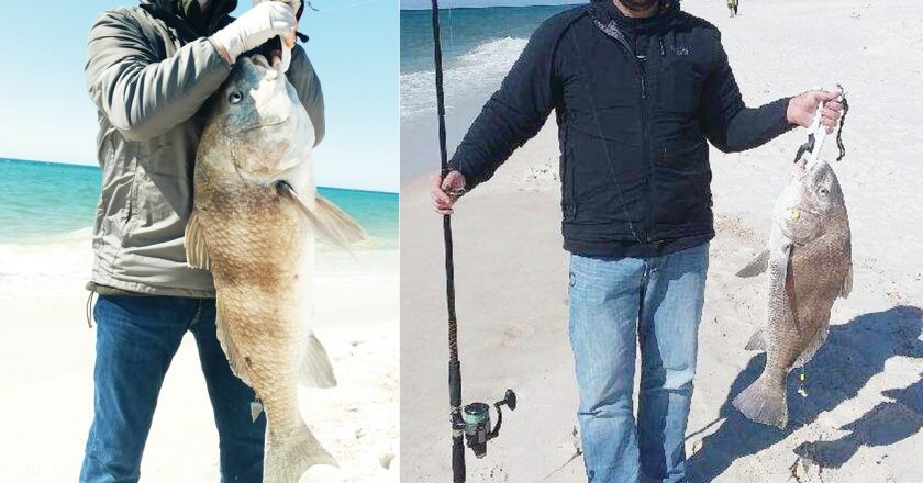 Dave Carlson Sr. and Dave Carlson Jr. from the Upper Peninsula of Michigan both caught these giant Black Drum while on spring break at Johnson Beach.