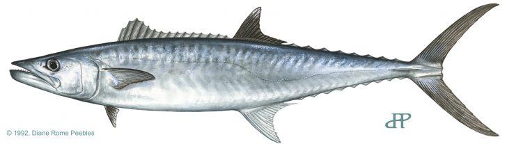 Tips for Smoker Kingfish